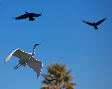 Great White Egret, American Crows
