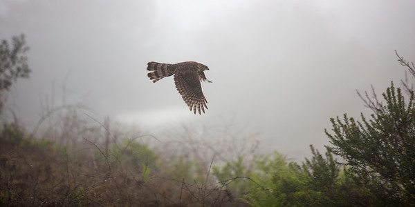Cooper's Hawk flying in morning mist