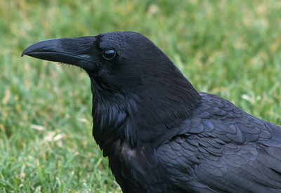 Common Raven, close up