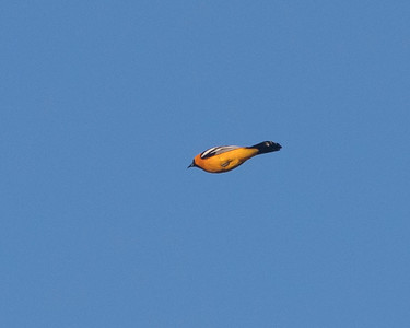Hooded Oriole in flight, 1st sighting in Santa Cruz according to Ebird