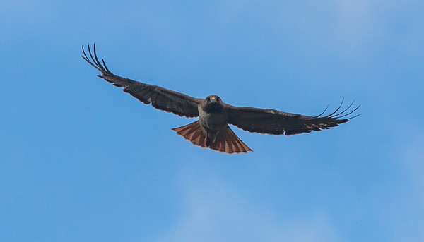 Red-tailed Hawk approaching v1