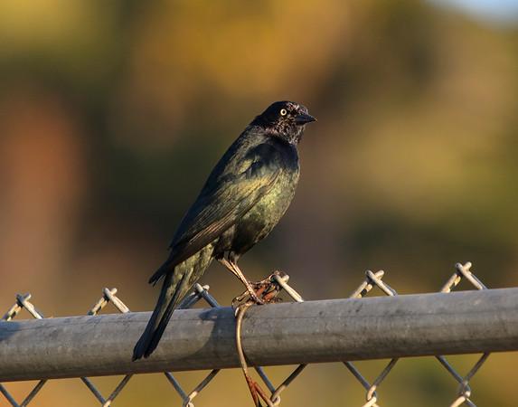 Brewer's Blackbird, male