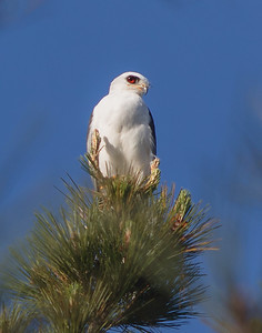 White-tailed Kite, perched, red eyes