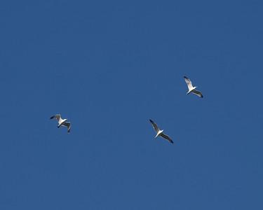 Ring-billed Gulls in flight