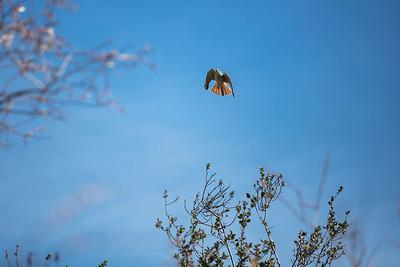 American Kestrel approaching