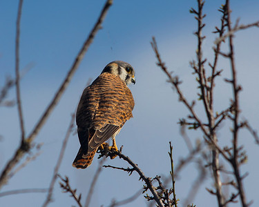 American Kestrel, back plumage