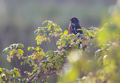 Spotted Towhee in the middle of poison oak