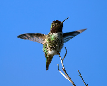 Anna's Hummingbird, taking off