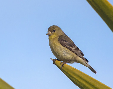 Lesser Goldfinch v4