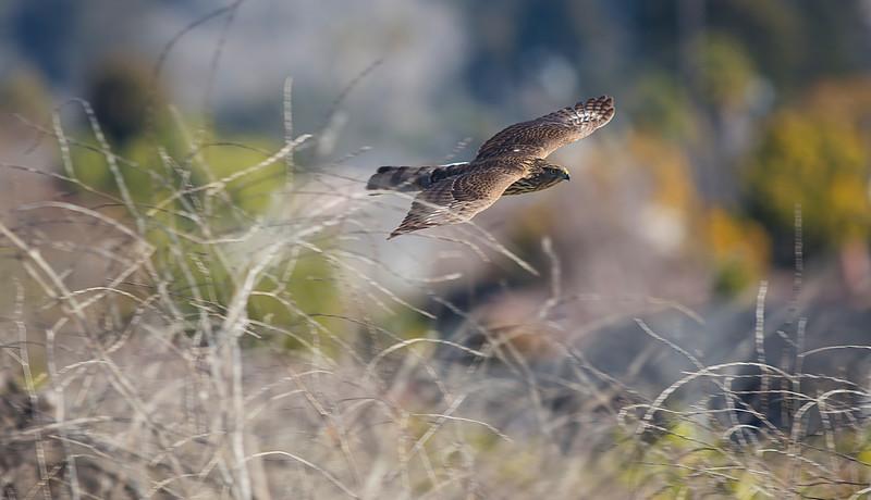 Cooper's Hawk in flight v1