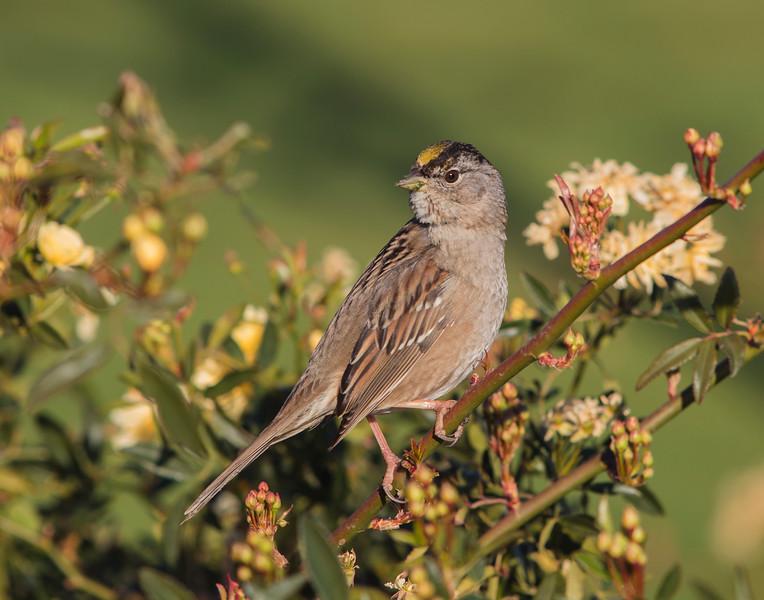Golden Crowned Sparrow V3