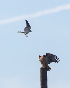 White-tailed kite attacking Red-tailed Hawk