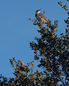Northern Flicker, male (red cheek) and female