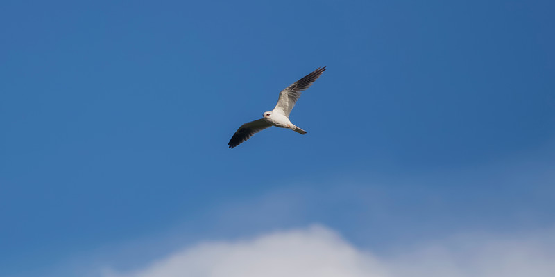 White-tailed kite looking for prey
