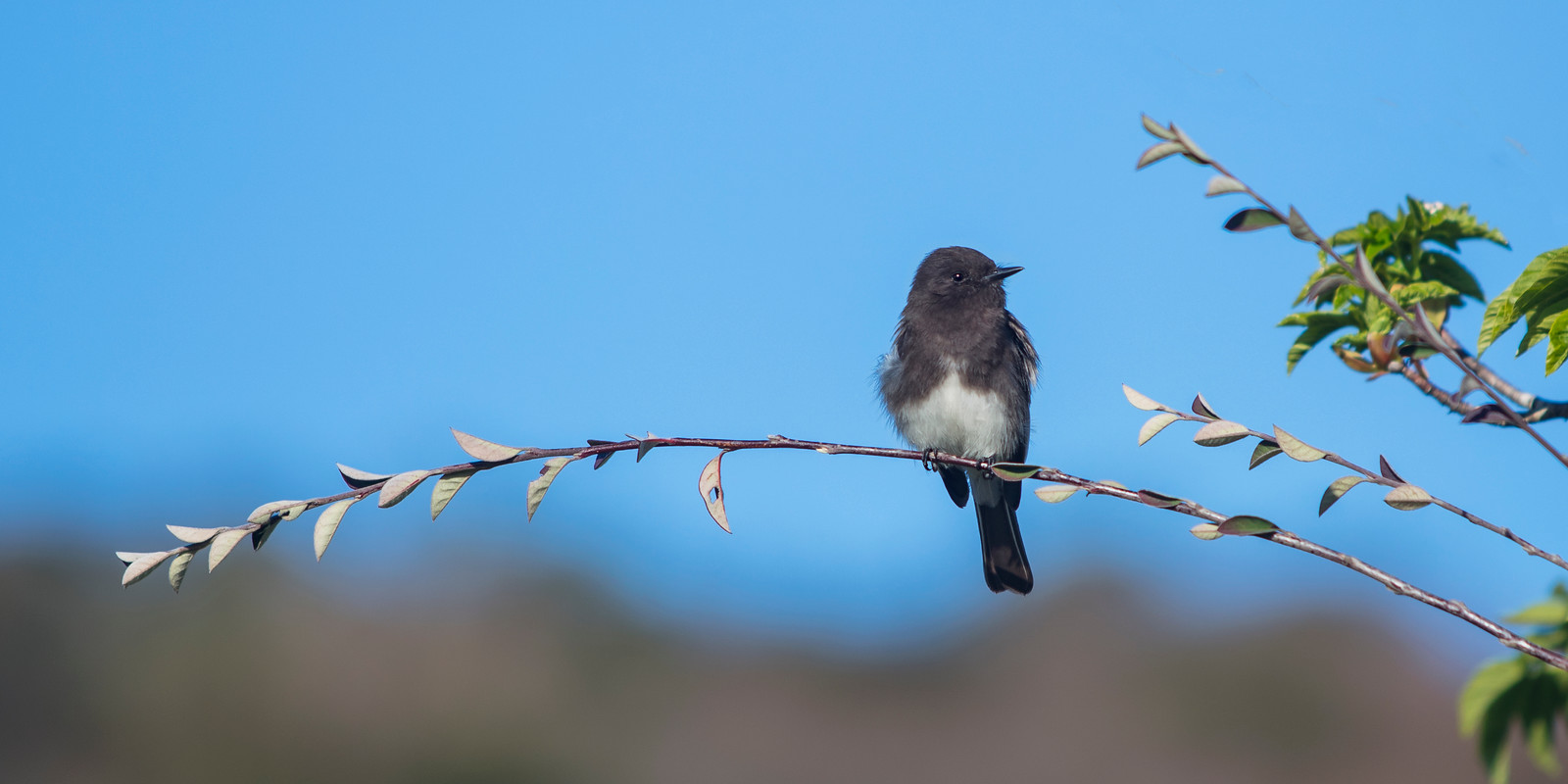 Black Phoebe, perched