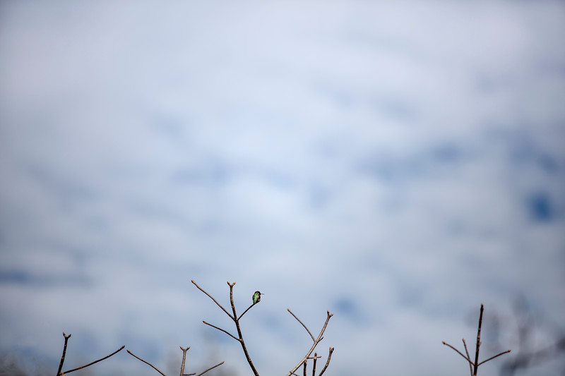 Anna's Hummingbird wide with cloudy sky