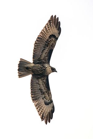 Red Tailed Hawk in flight v6