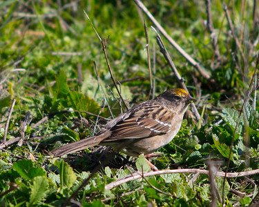Golden Crowned Sparrow, 1st Winter