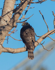 Sharp-shinned Hawk, juvenile, back plumage