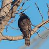 Sharp-shinned Hawk, juvenile, back plumage