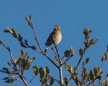 Housefinch, female