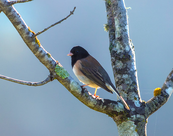Dark-eyed Junco, Oregon class