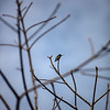 Anna's Hummingbird through the branches