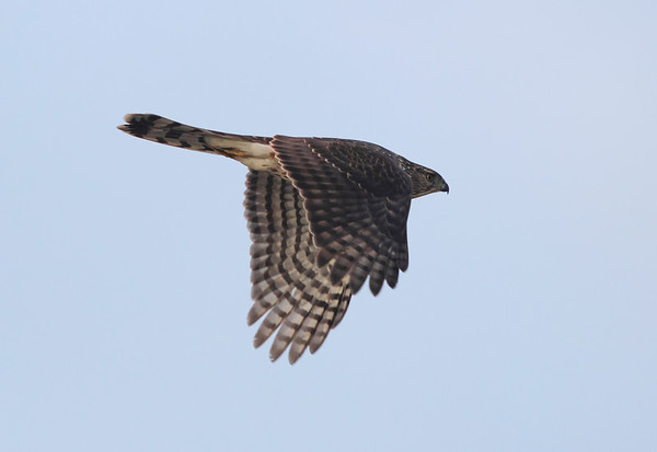 Cooper's Hawk in flght v4, with clear tail pattern