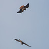 Two Red-tailed hawks in flight