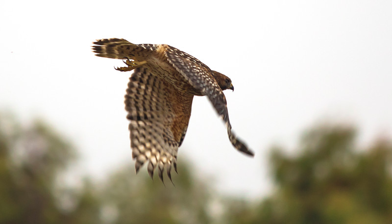 Red Shouldered Hawk in flight V3