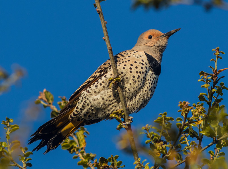 Northern Flicker, Yellow shafted, female