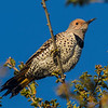 Northern Flicker,  Integrade, female