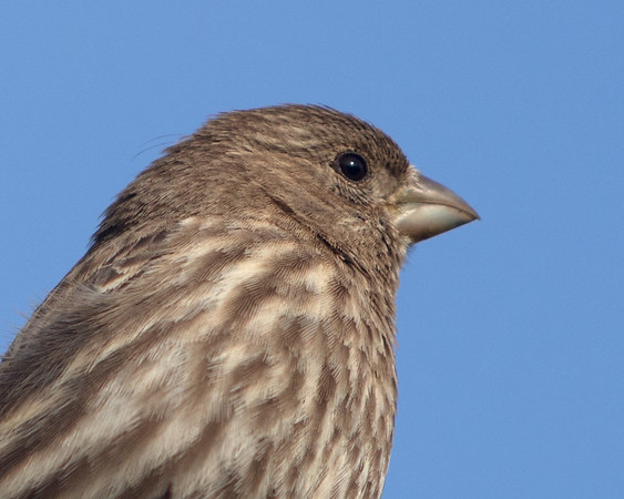 Housefinch, female, closeup