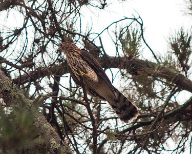 Cooper's Hawk in pine tree