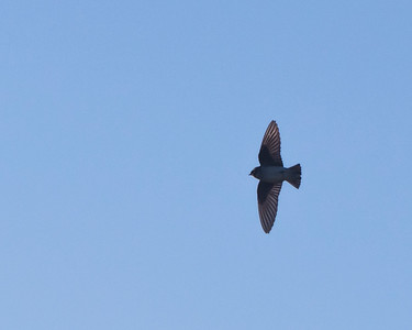 Tree Swallow in flight, juvenile
