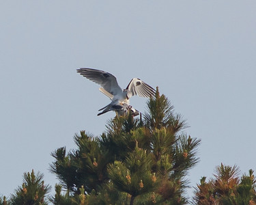 White-Tailed Kites mating