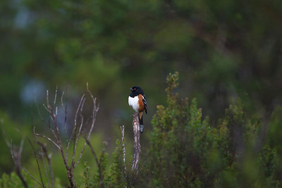 Spotted Towhee in the rain