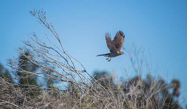 Cooper's Hawk taking off