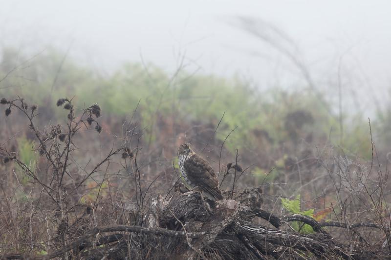 Cooper's Hawk in morning mist