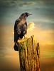 Portrait of a Crow