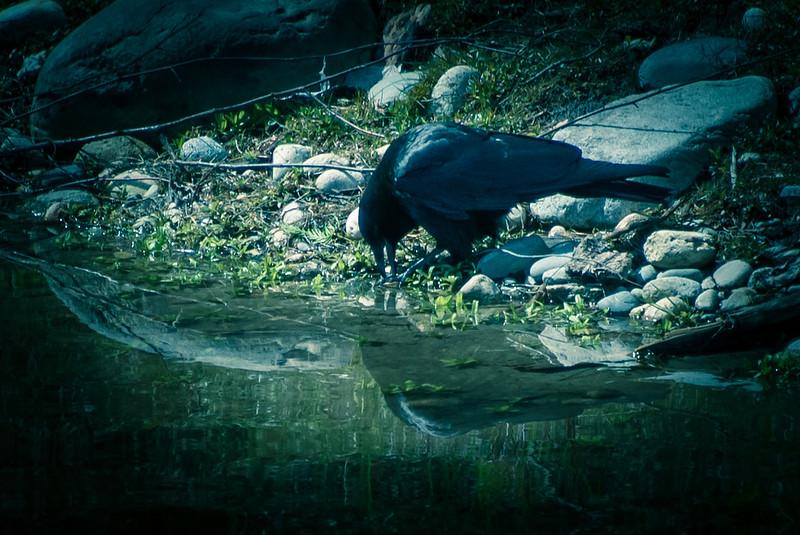 Crow In Twilight