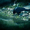 Crow In Twilight