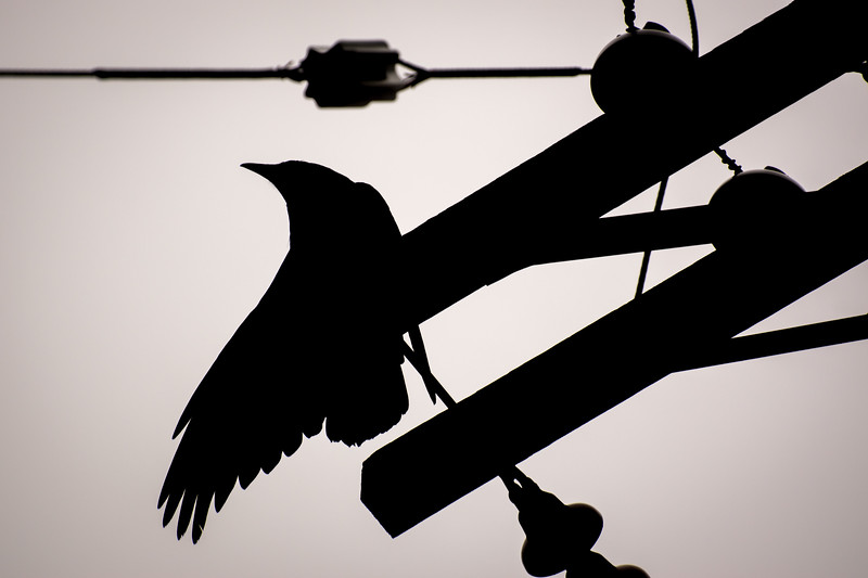 Crow in Silhouette