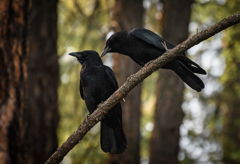 The Whispers of Crows