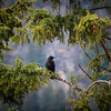 Crow In Boughs