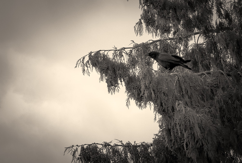 Crow In Cedar