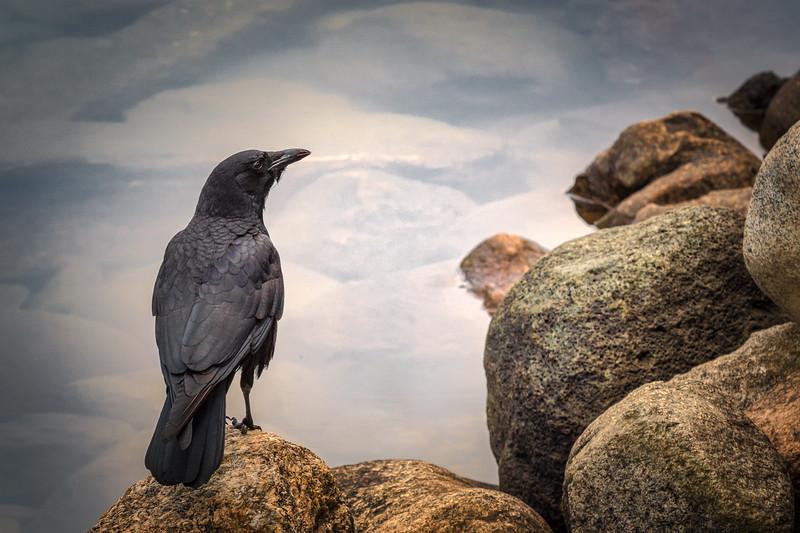 The Fishing Crow