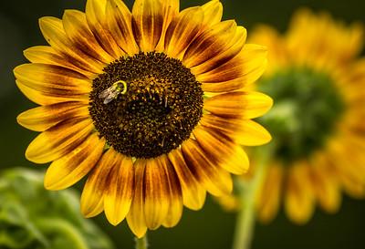 Belmont Bee Sunny Flower