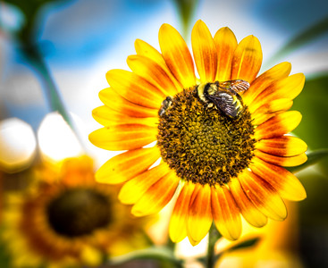 Sunflower Camouflage Bee