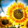 Sunflower Camouflage Bee
